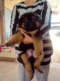 ขายลูกสุนัขอัลเซเชี่ยน ขนฟูน่ารัก มีบริการจัดส่งต่างจังหวัด