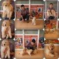 ขายลูกหมาโกลเด้น-(ขายคุณภาพ ความน่ารักสดใส และความมีสุขภาพที่ดี
