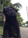 ขายลูกสุนัขเยอรมันเชพเพิร์ด สีดำ (ขายเเล้วครับ)