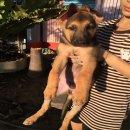 ขายลูกสุนัขเยอรมันเชพเพอร์ด  (ขายแล้วครับ)