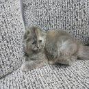 เปิดจอง ลูกแมว Scottish Fold เพศหญิง หูพับ สายพันธุ์แท้ พร้อมใบเซอร์
