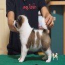 ขายลูกสุนัข พันธุ์บางแก้ว มาร์คสวย ขนสองชั้น โครงใหญ่ สุขภาพแข็งแรงมาก สายแชมป์