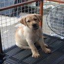 Labrador  เพศเมีย หลานแชมป์ สีฟางข้าว พร้อมย้ายบ้านเหลือตัวสุดท้ายแล้วครับ