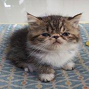 ขายลูกแมว เอ็กโซติก ช๊อตแฮร์ิ อายุ2เดือน พ่อแม่ cfaคับ