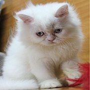 ลูกแมวเปอร์เซีย เพศเมีย