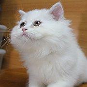 ลูกแมวเปอร์เซียสีขาว เพศผู้