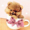 ***Tiny teacup Pomeranain!