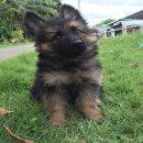 ขายลูกสุนัขเยอรมันเชพเพอร์ดเพศเมีย ขนยาว(ขายแล้วครับ)