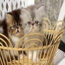 หาบ้านให้ลูกแมวเปอร์เซีย (ตัวเมีย)