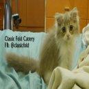 ขายลูกแมว Scottish fold สายพันธุ์แท้ ขนยาว เพศผู้ อายุ 3 เดือน (ฟอร์มเล็ก)