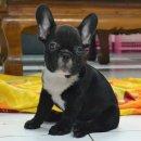 เฟรนซ์บลูด็อก French bulldog สีดำเพศผู้ สวยๆค่ะ