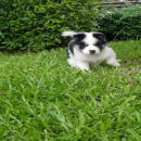 ลูกสุนัขบางแก้ว   เพศเมีย มีใบเพ็ดดีกรี โทร.081-8274126