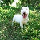 ลูกบูลเทอร์เรีย (Bull Terrier)