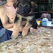 ขายลูกสุนัขเยอรมันเชพเพิร์ดสวยๆ โครงสร้างใหญ่ๆ ล่ำๆ ผู้