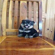 ลูกสุนัขปอมเมอเรเนียนพันธุ์แท้ ตัวละ6900-8900บาทครับ