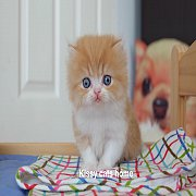 น้องเรมี่ ลูกแมวเปอร์เซีย เพศชาย สี ส้ม-ขาว