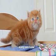 น้องลีโอ ลูกแมวเปอร์เซีย เพศชาย สีส้ม