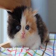 ลูกแมว เปอร์เซีย สามสีคาลิโก้ เพศหญิง