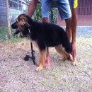 Re: ขายลูกสุนัขเยอรมันเชพเพอดเพศเมีย
