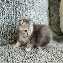 เปิดจอง ลูกแมว Scottish Fold เพศเมีย สายพันธุ์แท้ พร้อมใบเซอร์