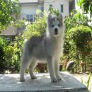 ลูกสุนัขไซบีเรียนฮัสกี้พันธุ์แท้ผู้1เมีย1ตาฟ้าคู่ สวยๆ