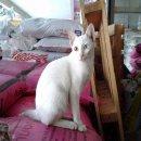 แมวขาวมณีตาสองสี เพศเมียอายุ5เดือนแมวไทยมงคลสายพันธุ์แท้