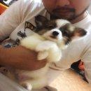 ขายสุนัขพันธุ์ Papillon หรือ ปาปิยอง สุนัขหูสวยขนยาว ตัวเล็ก