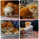 Available Munchkin Cat