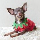 LITTLE DOG'S FARM : ชิวาวาสาวขนสั้น สีชอคโกแลตแอนด์แทน อายุ8เดือน อนาคตแม่พันธุ์จ้า