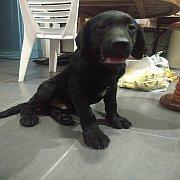 ลูกสุนัขลาบราดอร์สายเลือดแชมป์โลกพร้อมใบเพ็ดดีกรี