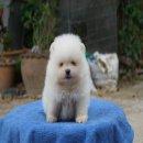 ปอมขาวหน้าหมี ราคากันเอง 9,500 บาท จาก12,000บาท ด่วน!!