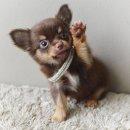 LITTLE DOG'S FARM : ชิวาวาขนยาว ตัวเล็กๆ สีชอคโกแลตแอนด์แทน น่ารักๆจ้า