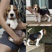 Lakeville kennel จำหน่าย Beagle สายเลือดไทยแชมป์
