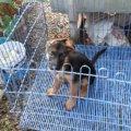 ขายลูกสุนัขเยอรมันเซฟเฟิร์ด พันธุ์แท้