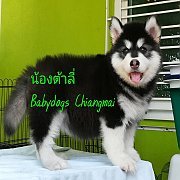 Female Alaskan Malamuth Puppy For Sale