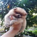 น้องปอมหน้าแมว A1 อายุ45วัน เกิดวันที่ 7 กันยายน 2560 เพศชาย ✔️สีส้ม เกรดสวยไซร์เล็ก ✔️น่าสั้น ✔️ขนส