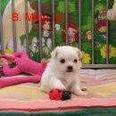 ลูกสุนัข มอลทีส (maltese) เพศผู้ ใบเพ็ดแท้เต็มใบ ราคาพิเศษ พร้อมย้ายบ้านจ้าาา