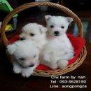 CNX-Farm ขายลูกสุนัข เวสตี้ ผู้ 1 เมีย 2 เกรดเลี้ยงเล่น ขนฟู แข็งแรง