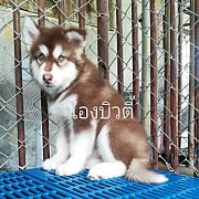 Female alaskan malamuth puppy for sale.