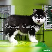 female alaskan malamute puppy for sale.