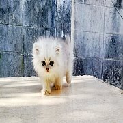 หาบ้านให้ลูกแมวเปอร์เซีย ชินชิล่าซิลเว่อร์แท้ๆ ล้าน เปอร์เซ็นต์