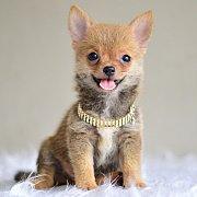 LITTLE DOG'S FARM : ลดพิเศษ!! น้อยชิวาวาขนยาว ตัวเล็กๆ น่ารัก มีคลิปให้ชมค่ะ